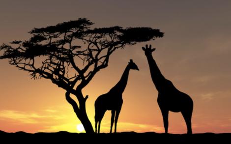 veldt giraffes