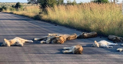 lions coexisting